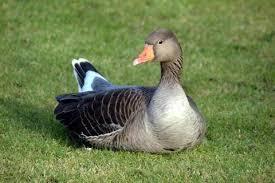 پرورش اردک غاز