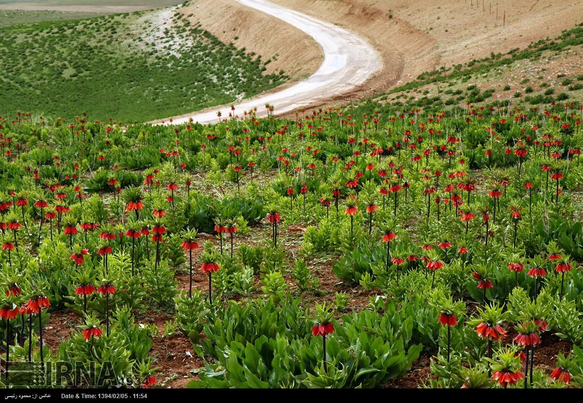 لاله واژگون خرم آباد